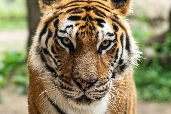 Real America with Jorge Ramos: TIGERS ON THE BRINK