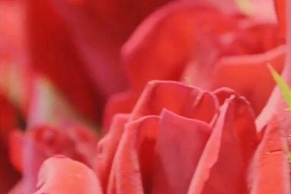 Real America con Jorge Ramos: Sigue las Rosas